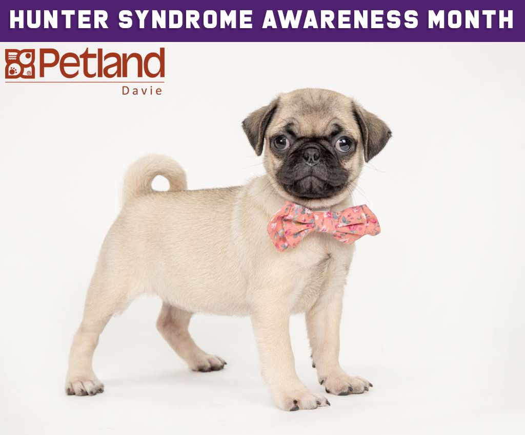 Petland Florida Has Pug Puppies For Sale Interested In Finding Out