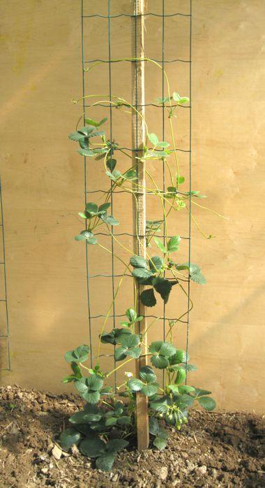 tuteur fraisiers grimpants projet pinterest fraisier jardins et potager. Black Bedroom Furniture Sets. Home Design Ideas