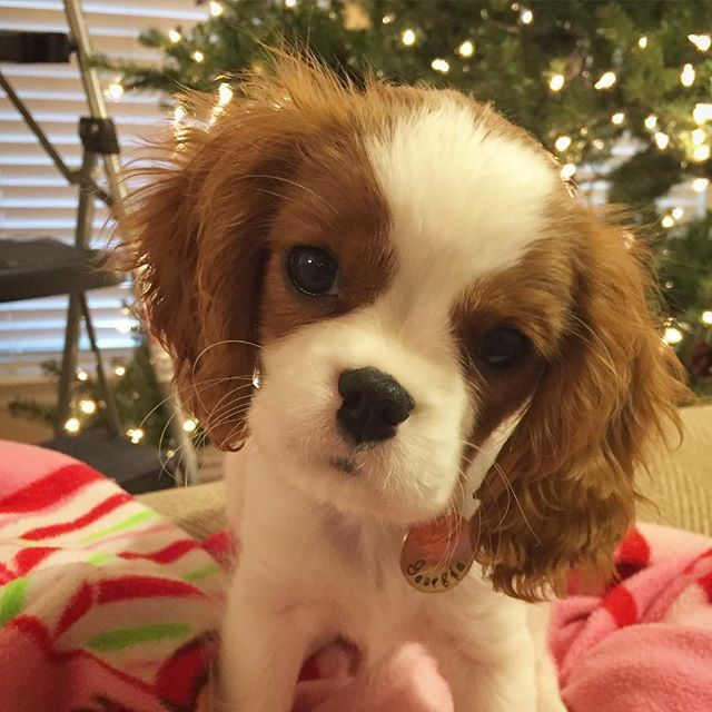 Georgia The Cavalier Dear Diary Today This Monstrosity Of A Thing Cavalier King Charles Dog King Charles Dog King Charles Puppy