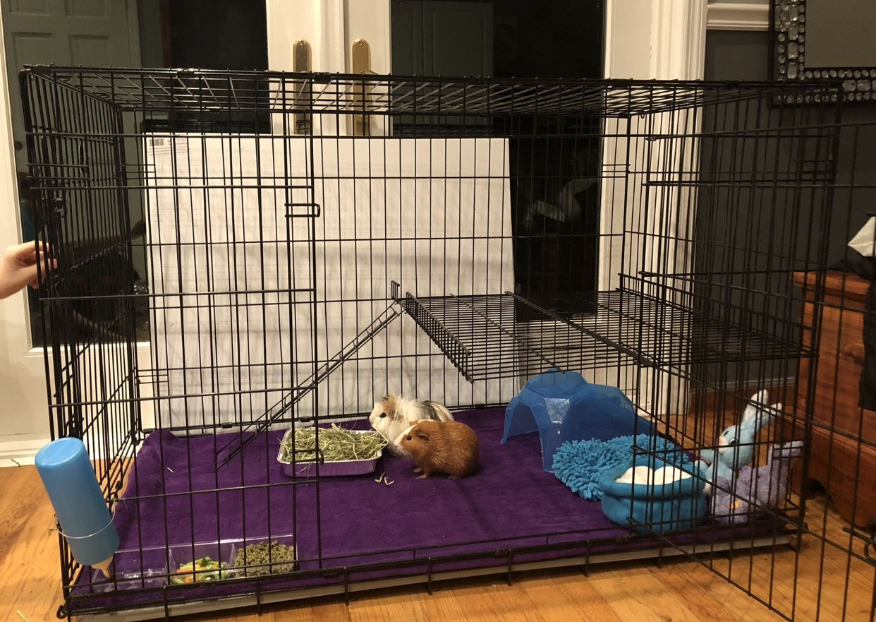 Guinea Pig Cage Made From An X Large Dog Crate Guinea