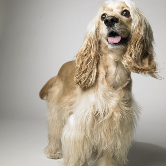 10 Surprising Facts About The American Cocker Spaniel From Petplan Pet Insurance American Cocker Spaniel Cocker Spaniel Spaniel