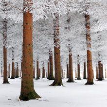 Fototapete - White Forest
