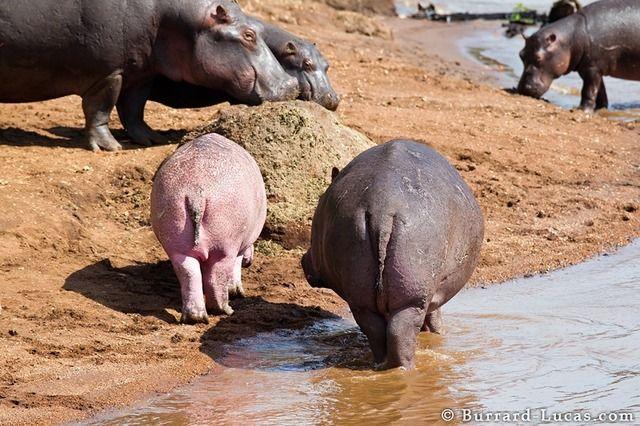Rare Pink Hippo Discovered In The Masai Mara Hippopotamus