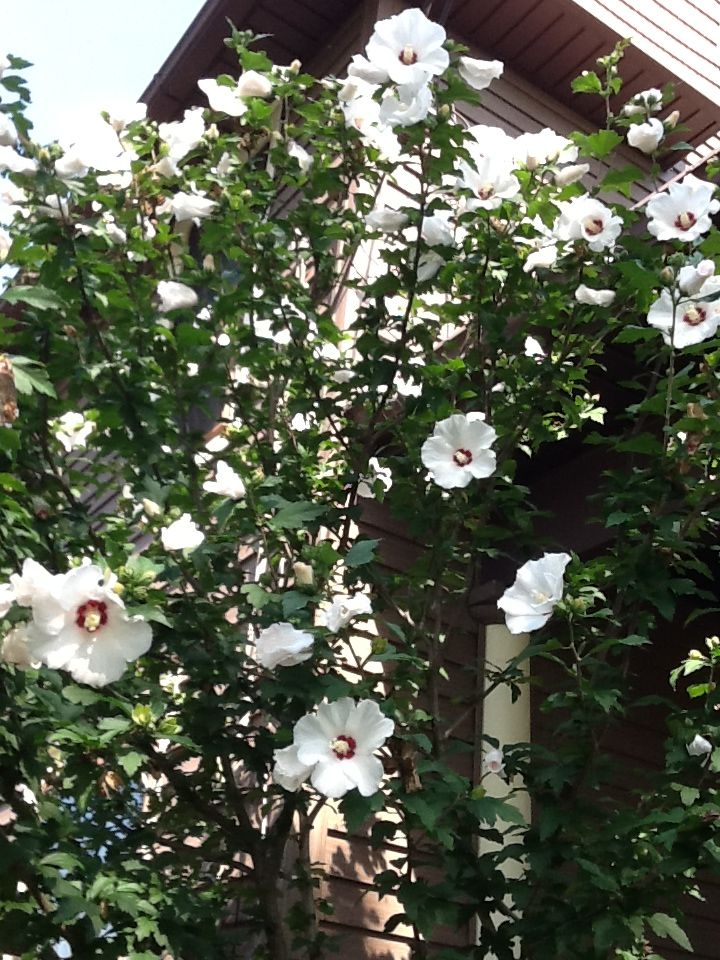White rose of Sharon by the front porch. Flower garden