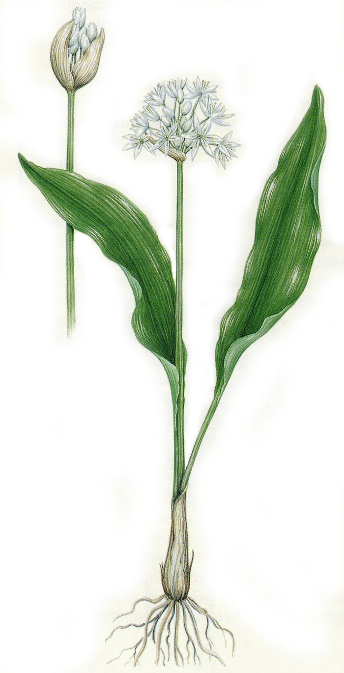 Pin On Botanicus