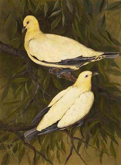Nutmeg pigeon | Australian Native Birds | Bird prints