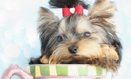 Most Beautiful Teacup Yorkie Puppy 5 Months Old And Still Fitting
