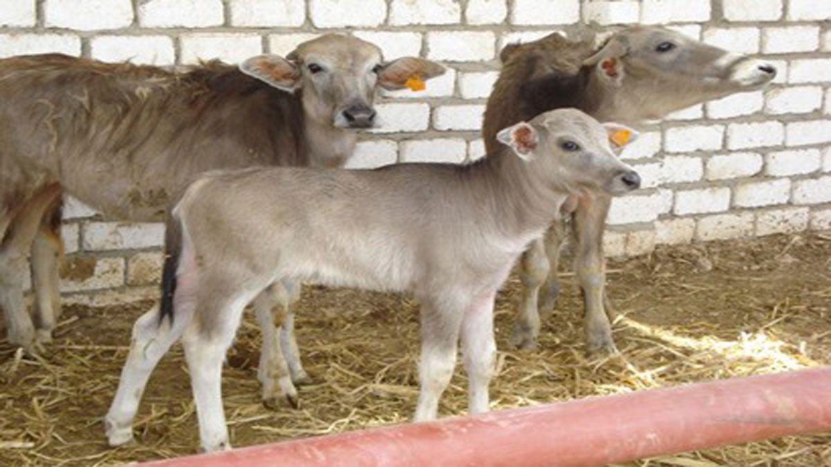 37 5 مليون جنيه تمويل مشروع البتلو يستفيد منها صغار المربين والمزراعين In 2020 Animals Goats