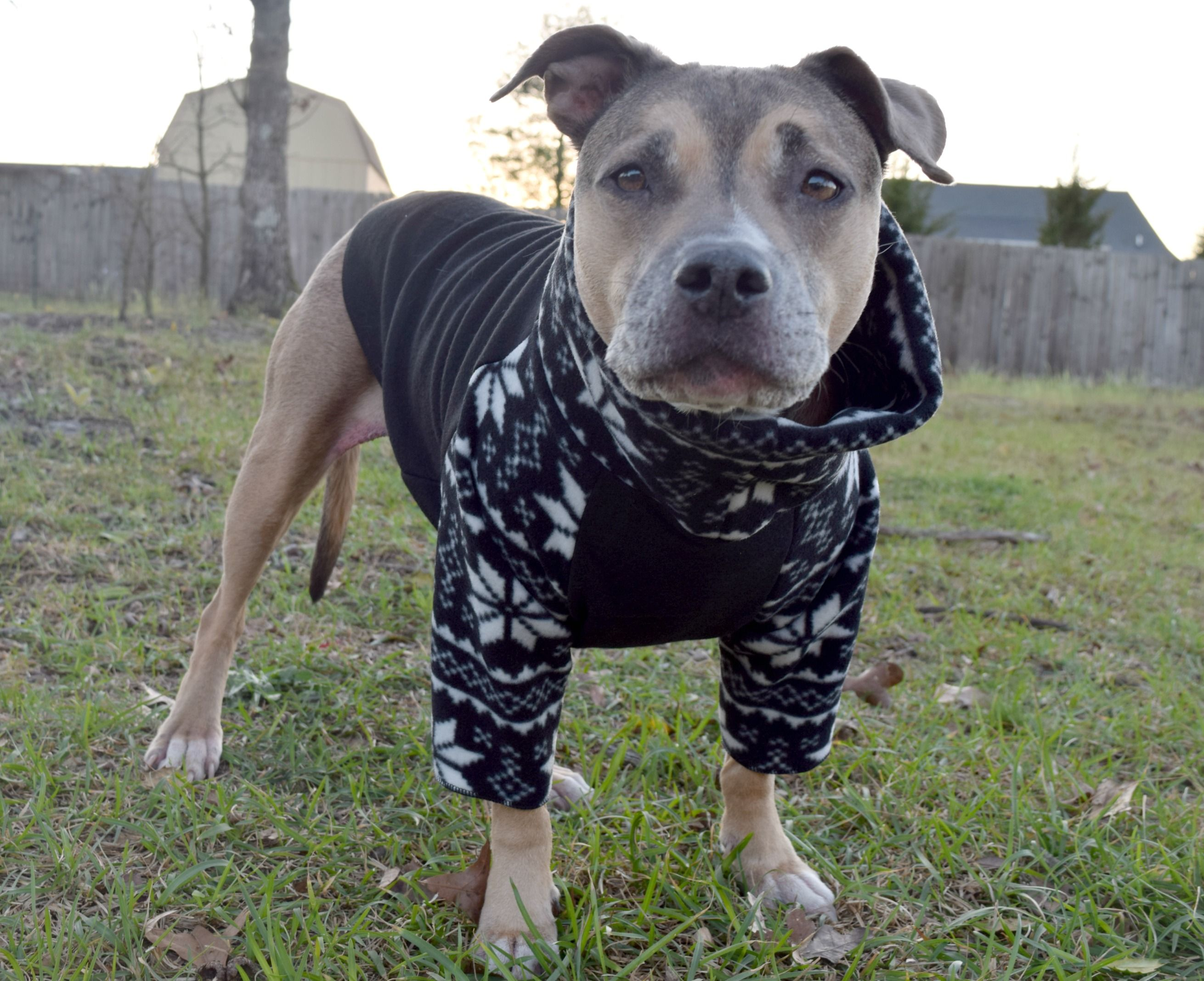 Pitbull Sweater By Tooth Honey Pitbulls Unique Items Products Animals