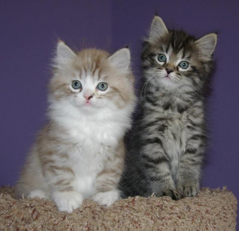 RagaMuffin Cat RagaMuffin Kittens Love these cats
