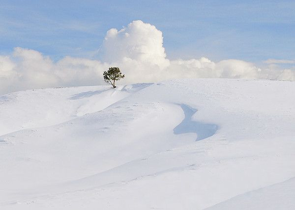 3a9bfc599338c Lone Tree At Yellowstone National Park Canvas Print   Canvas Art by ...