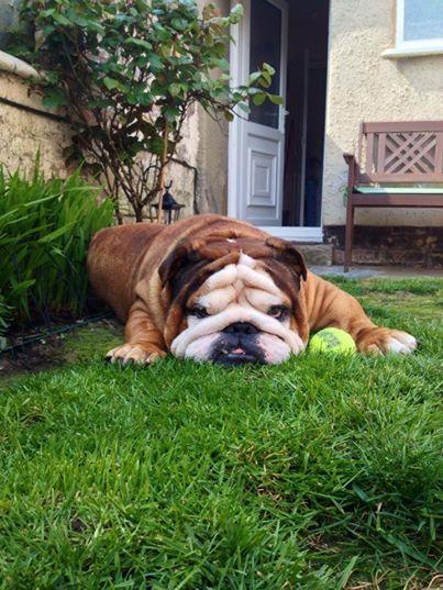 Bored Bully English Bulldog Englishbulldog Bulldogs Breed
