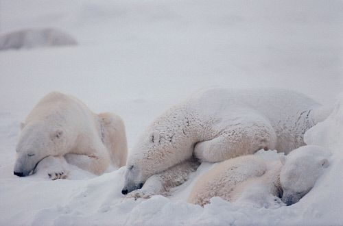 Polar Bears sleep peacfully as the snow falls upon them. Cape Churchill, Canada. Arctic Wildlife picture galleries by Bryan & Cherry Alexander Photography. Arctic and Antarctic photography experts.