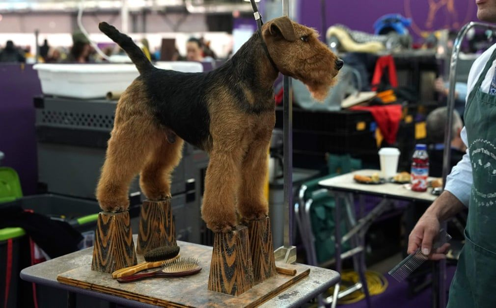2019 Westminster Kennel Club Dog Show In Pictures Westminster