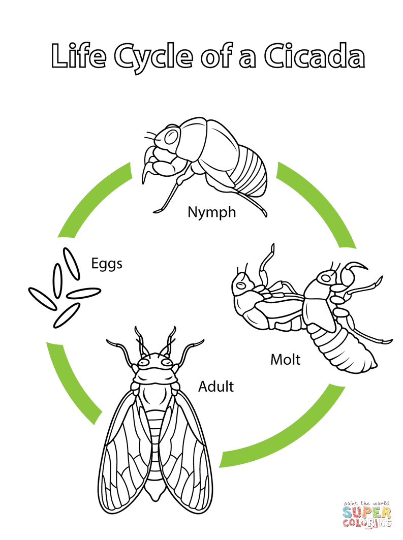 Life Cycle Of A Cicada Super Coloring Life Cycles Preschool Coloring Pages Insects Preschool