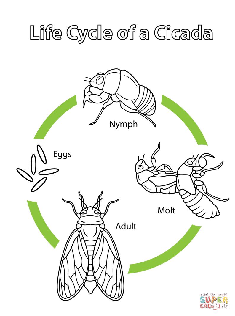 Life Cycle of a Cicada Super