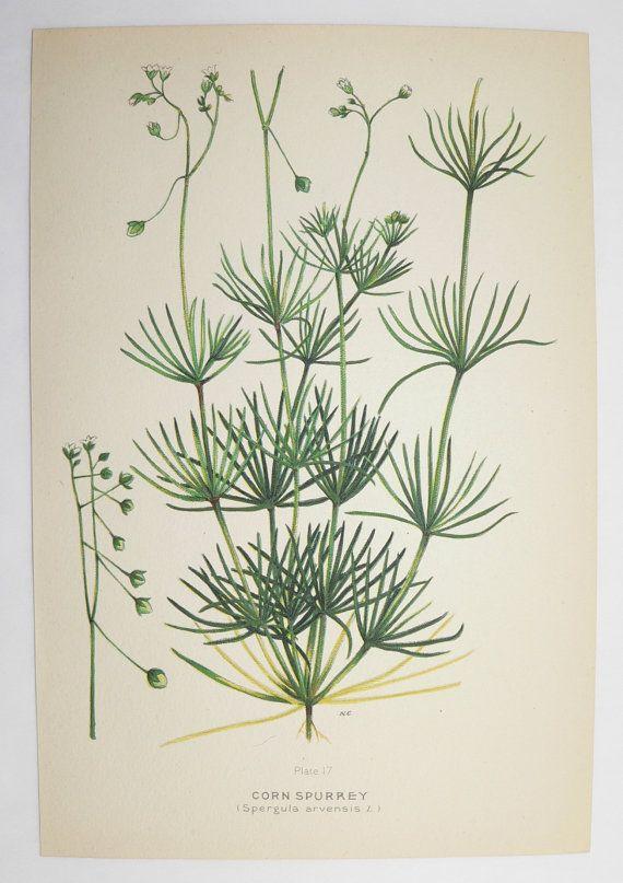 Corn Spurrey Botanical Print 1923 Green Plant Vintage Art Print, Spring Gift Idea for Home, Cottage Garden Plant Herb, Mothers Day Gift by OldMapsandPrints on Etsy