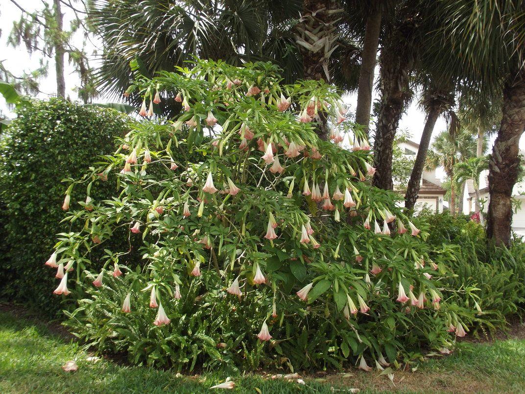Angel trumpet tree in naples fl angel trumpet plants