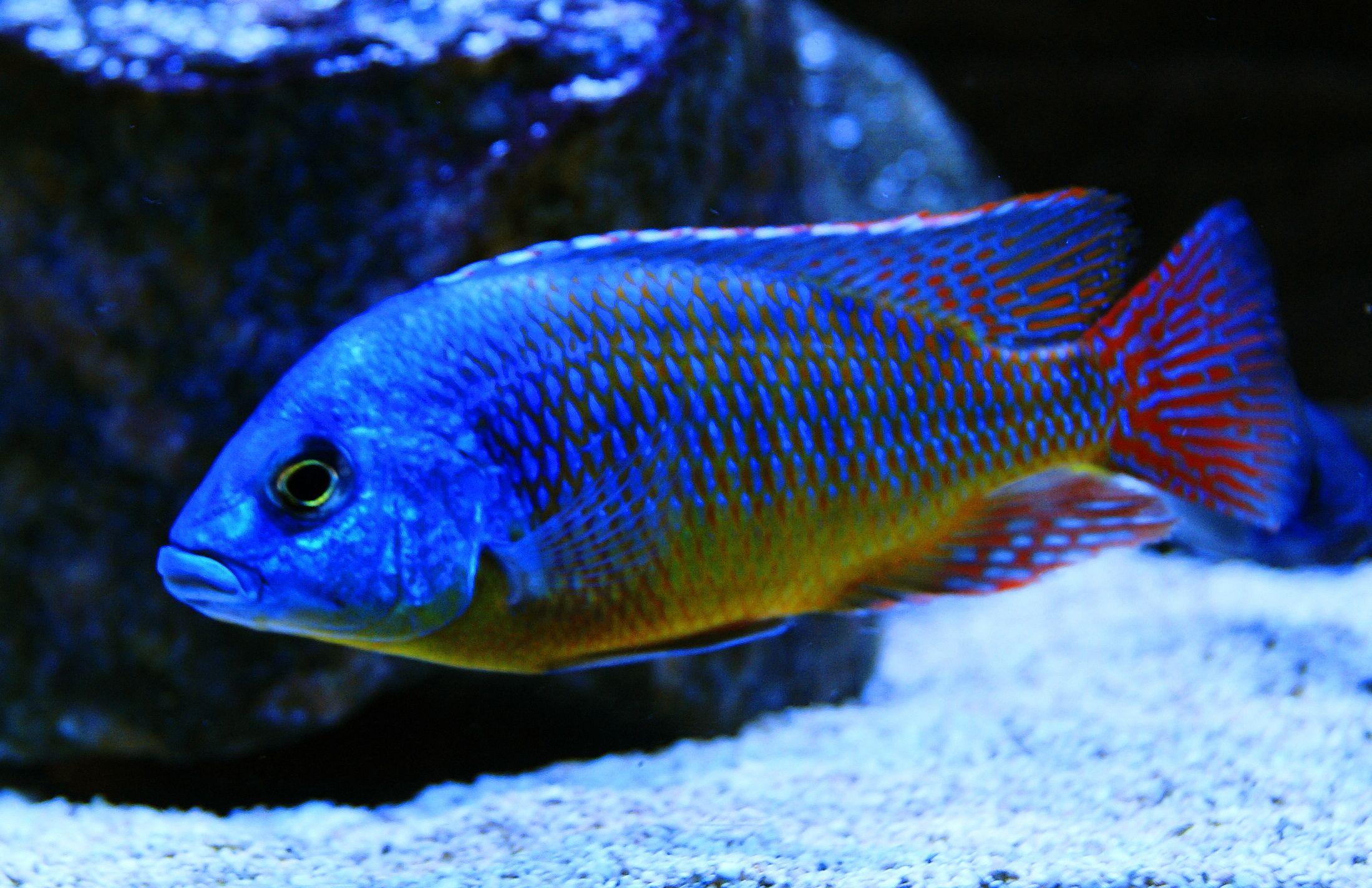 Protomelas Taeniolatus Red Empress Cichlid Protomelas Taeniolatus Red Super Red Empress Cichlid Cichlids Aquarium Fish Malawi Cichlids