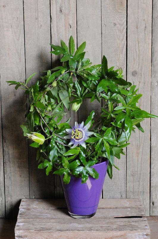 Passion Flower Plant In Pot Passion Flower Plant Planting Flowers Passion Flower