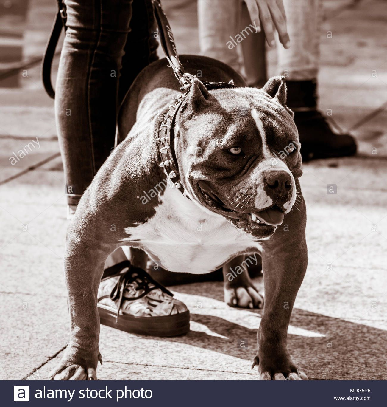 Bullypit Bully Pitbull Stockfotos Bullypit Bully Pitbull American
