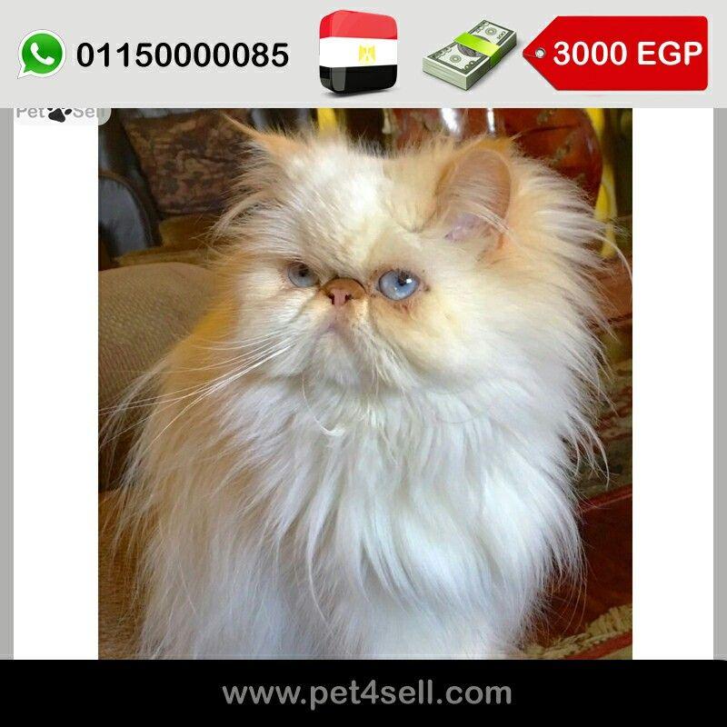 Egypt Cairo Female Himalaya Orange Age 1 And Half Year Very Pure Bloodline Cfa Parents انثي هيمالايا اورنج العمر سنة و نصف الاب و الام قطط Cfa Cats Animals