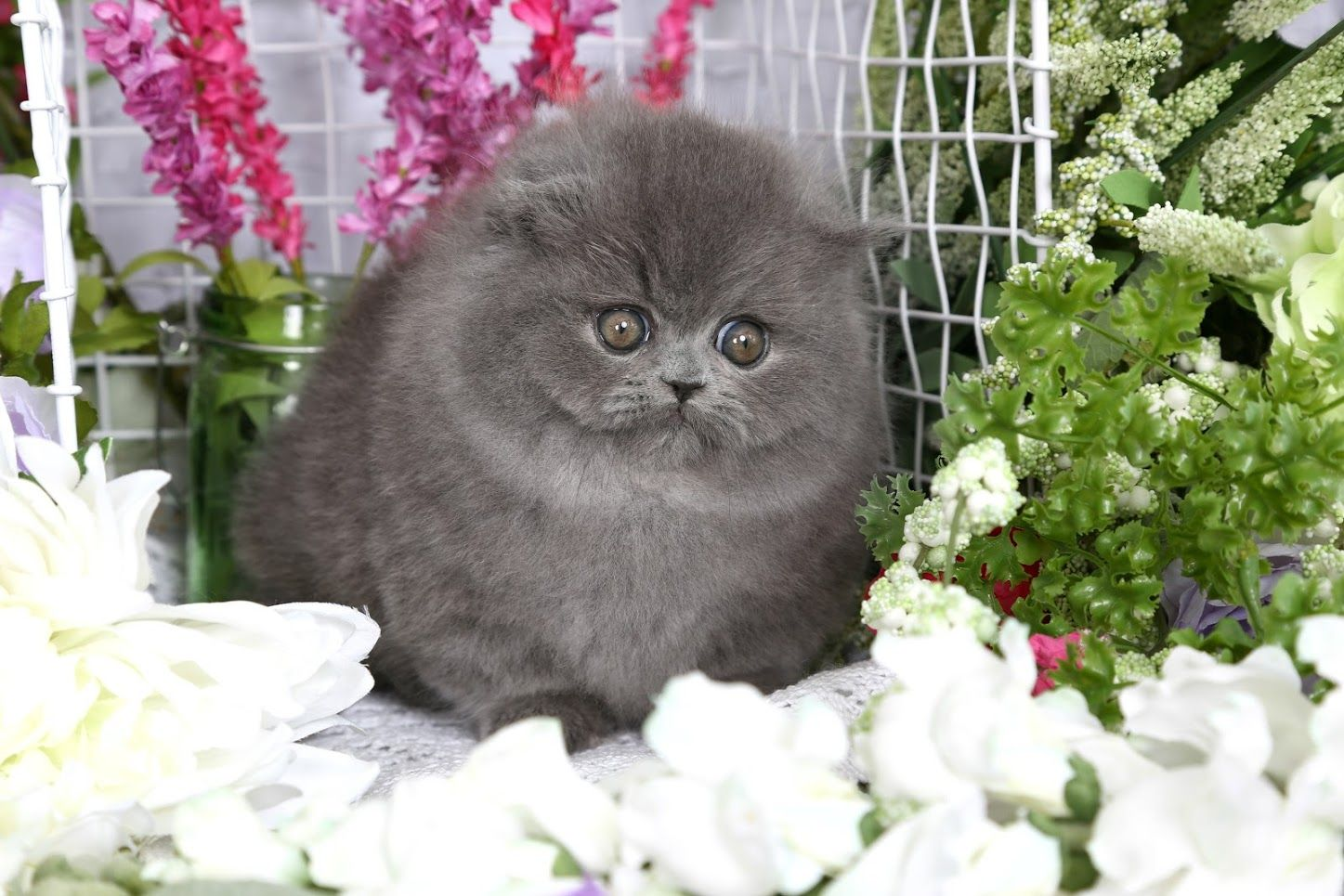 One Of A Kind And Rare Luxury Persian Kittens For Sale Persian Kittens Persian Cat Persian Kittens For Sale