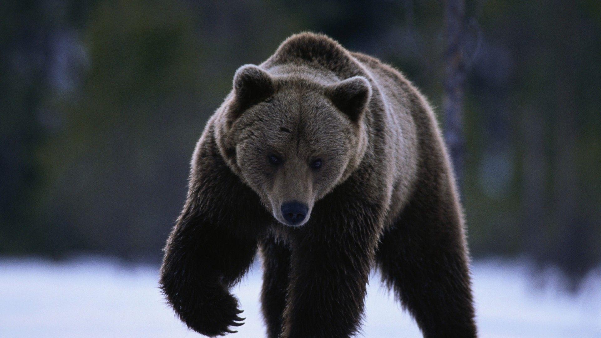 El oso pardo es un animal muy típico en el clima continental del ...