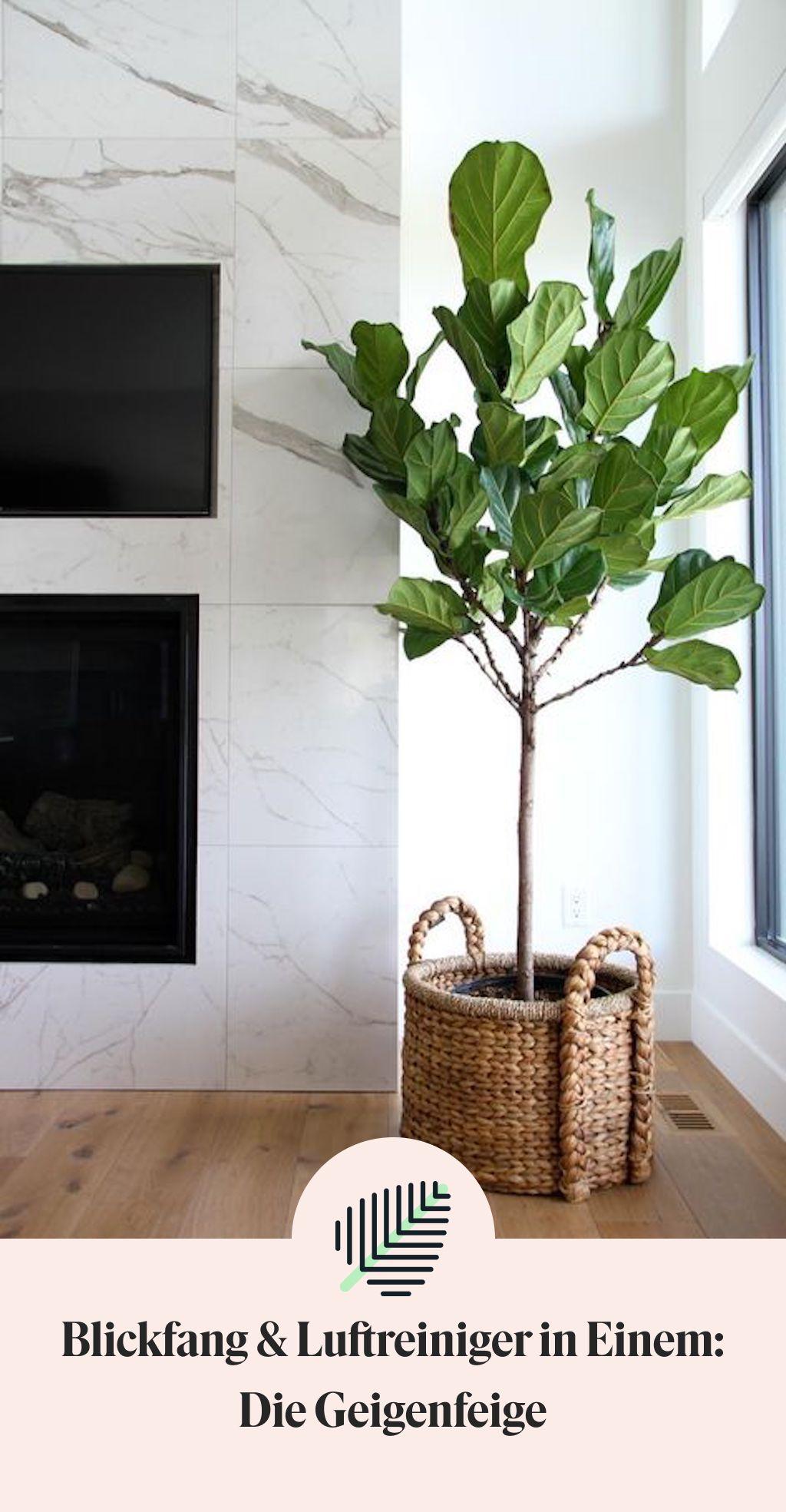 Geigenfeigenbaum Geigenfeige Tropisches Interieur Wohnzimmer Pflanzen