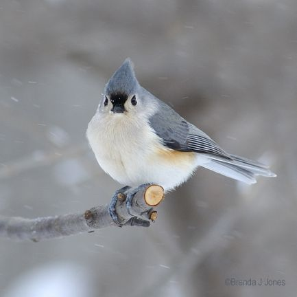 Baby Tufted Titmouse Backyard Birds