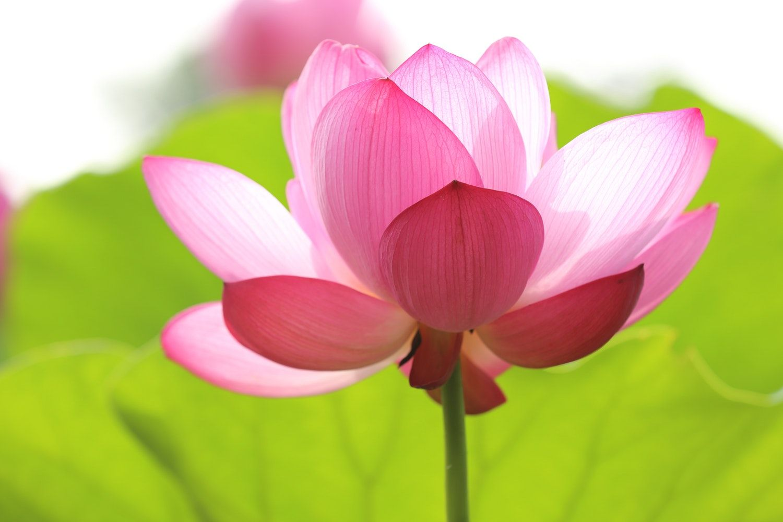 Flowers- #Rose #RedRose #BlackRose #WhiteRose #Gulaab # ... Palash Flower Wallpaper