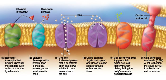this diagram shows the functions of proteins found in the on cell wall function id=60218