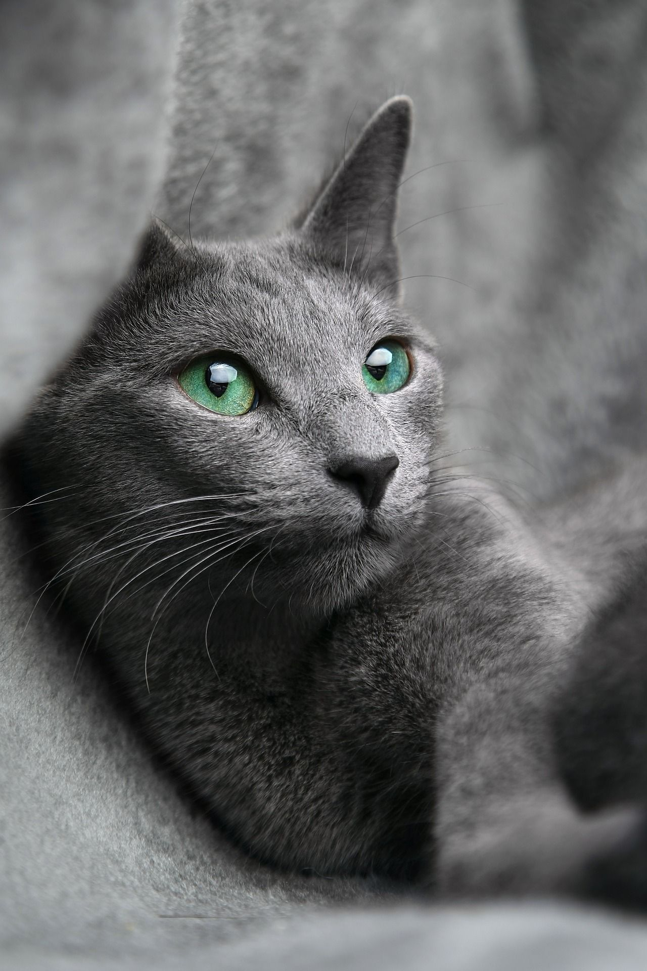 Free Image On Pixabay Cat Russian Blue Look Eyes Grey Cats