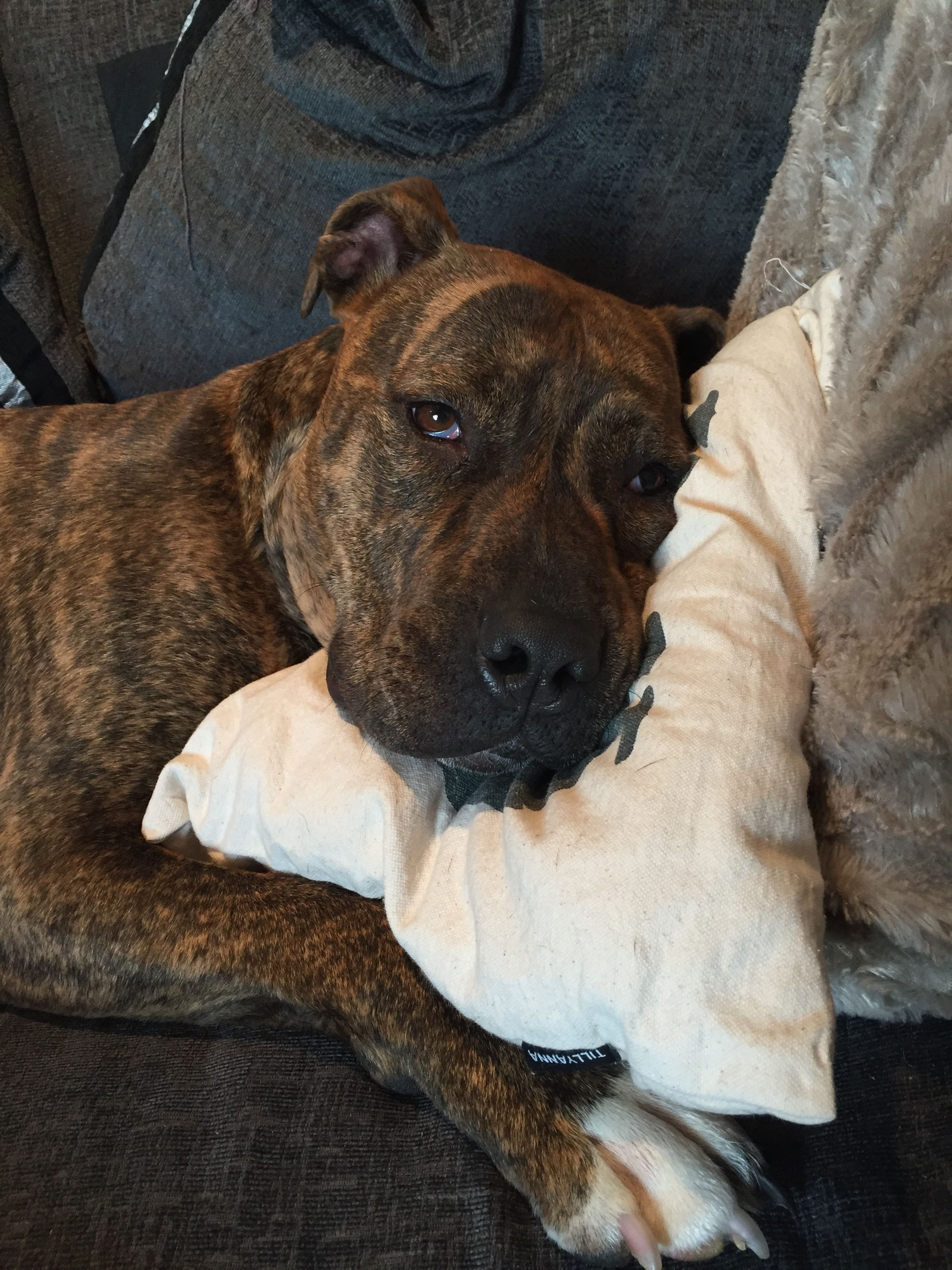 Brindle Staffordshire Bull Terrier Best Dog Breeds Dog Care