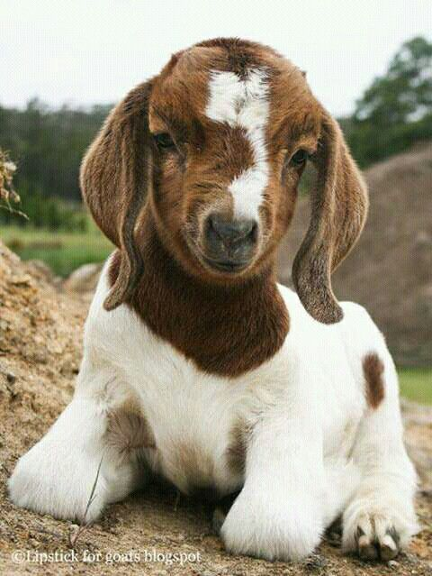 Goat looking cute