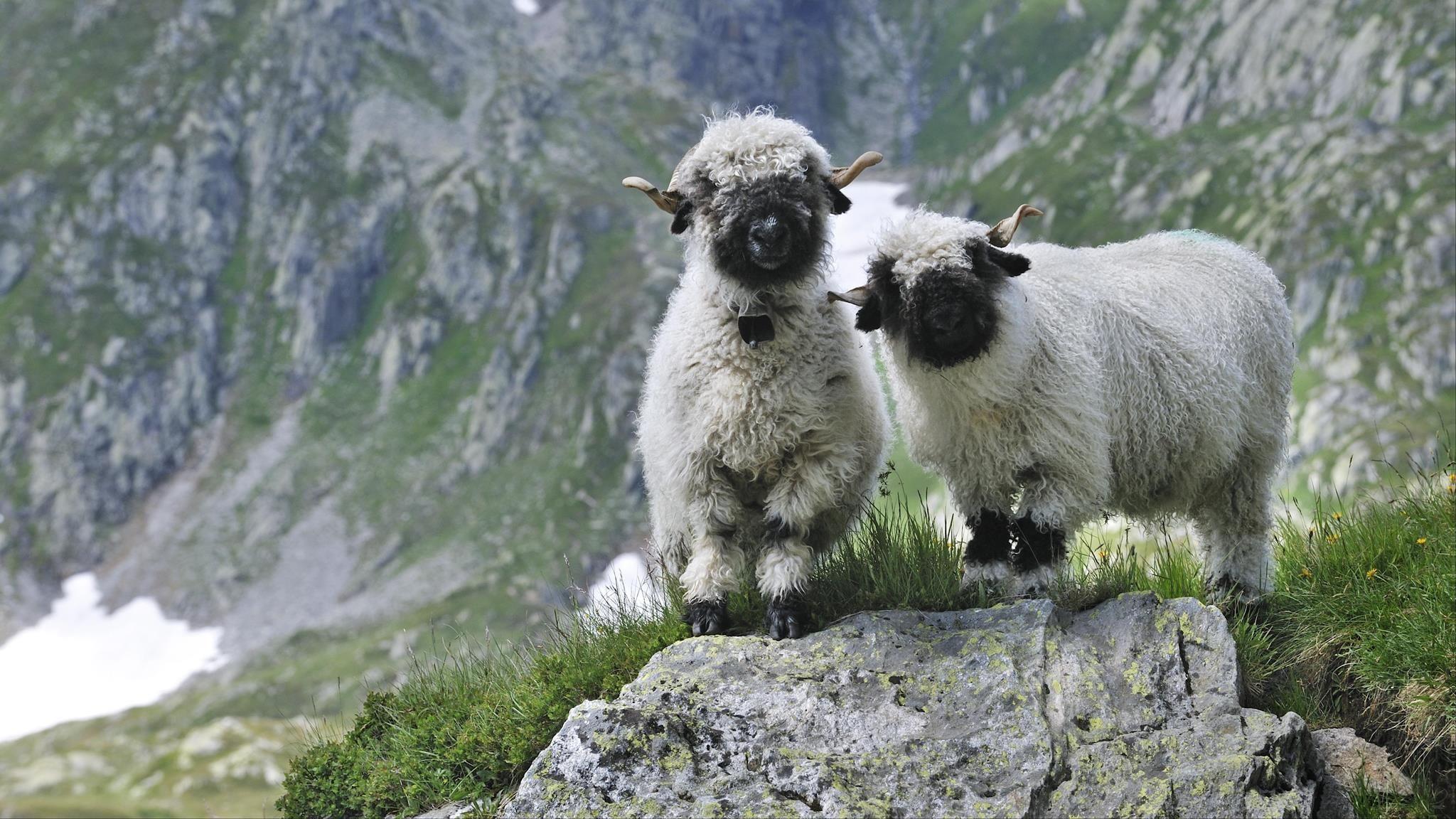 Sheep Love   Cute animals, Baby animals, Animals