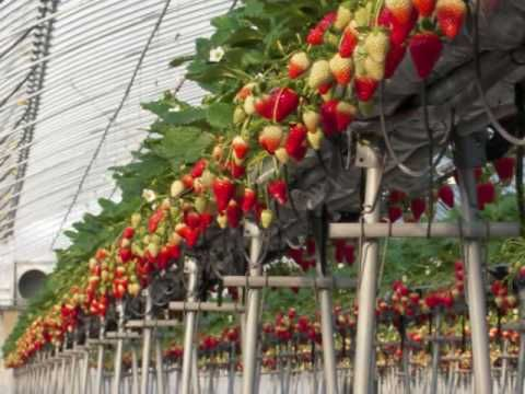 How To Grow Hydroponic Strawberries Youtube Hydroponic Strawberries Hydroponics Growing Strawberries