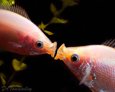 Pink Kissing Gourami At Aquariumfish Net Where You Can Shop Online For A Pink Kisser Kissing Gourami Fish For Sale Fish