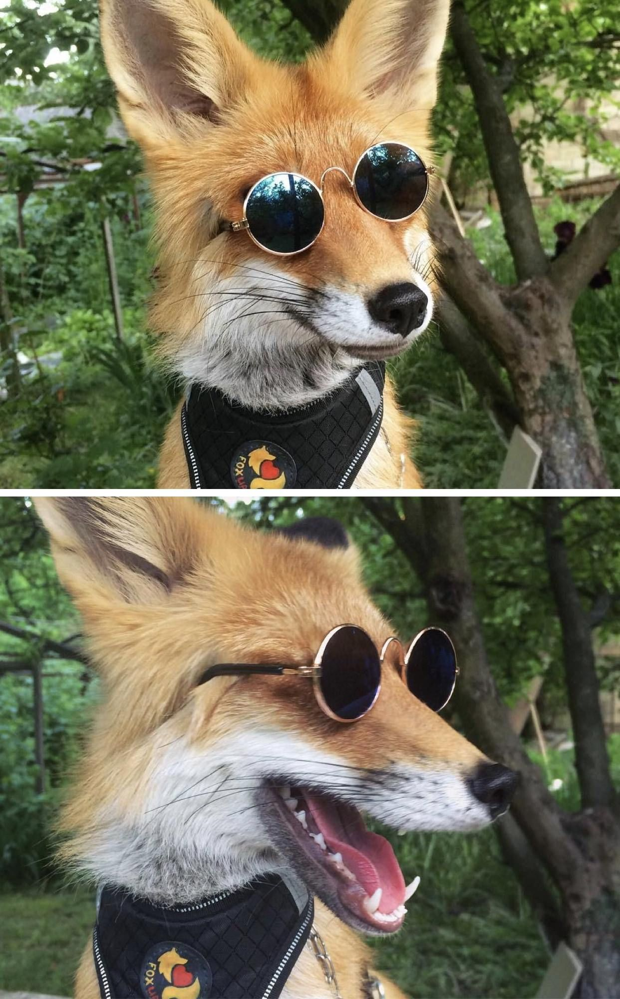 reddit the front page of the Pet fox, Cute