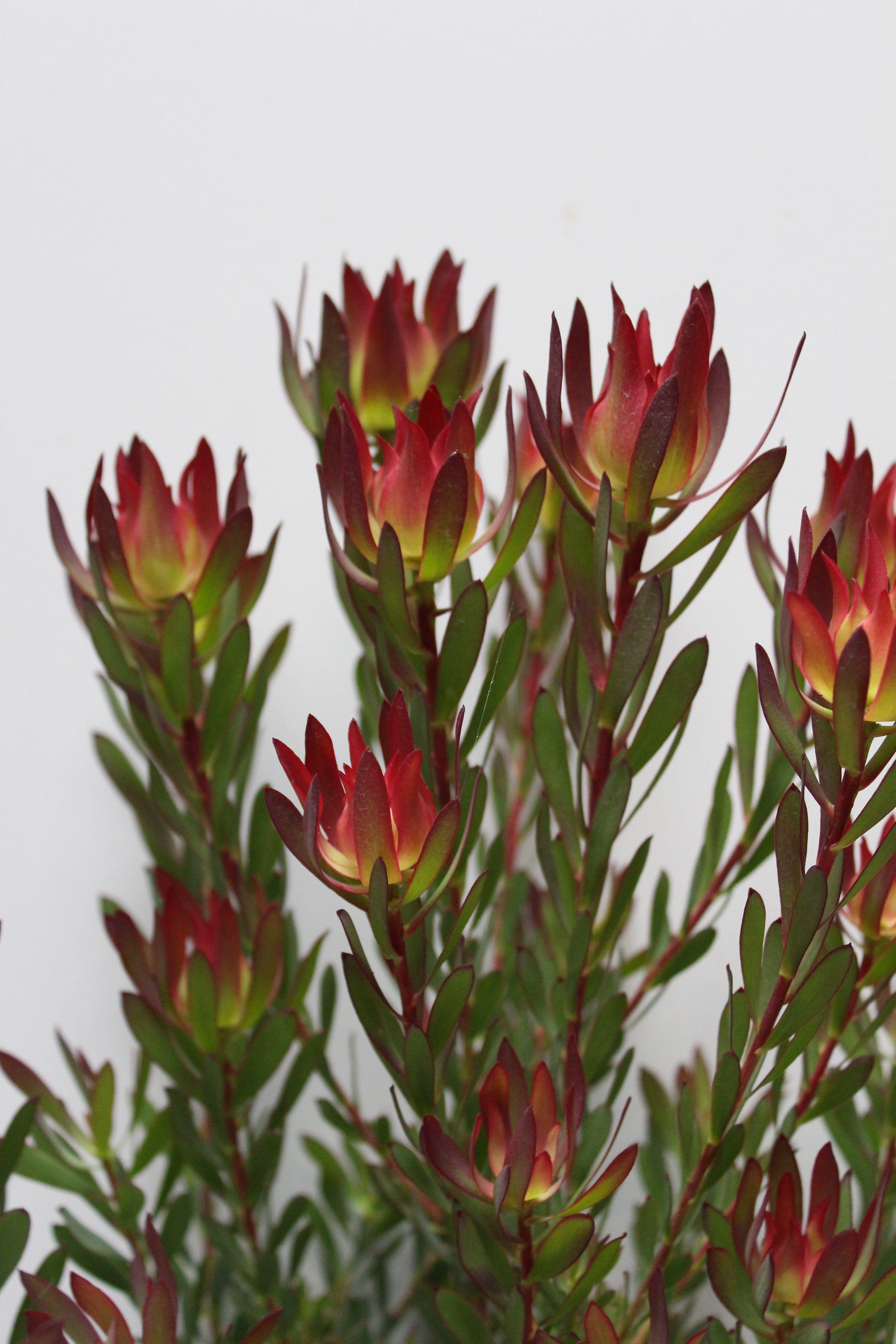 Proteaceae Leucadendron Leucadendron Devils Blush Small Shrub Protea Plant Australian Native Flowers Protea Plant Garden Shrubs