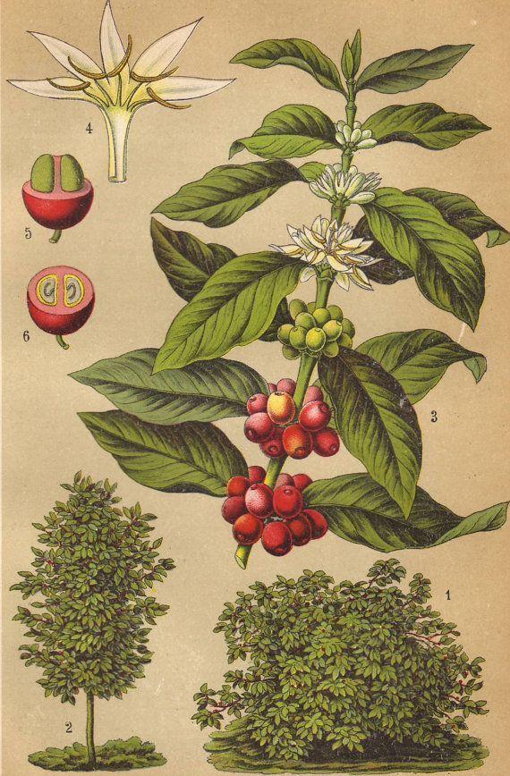 Coffee plant original 1922 botanical print Food, natural