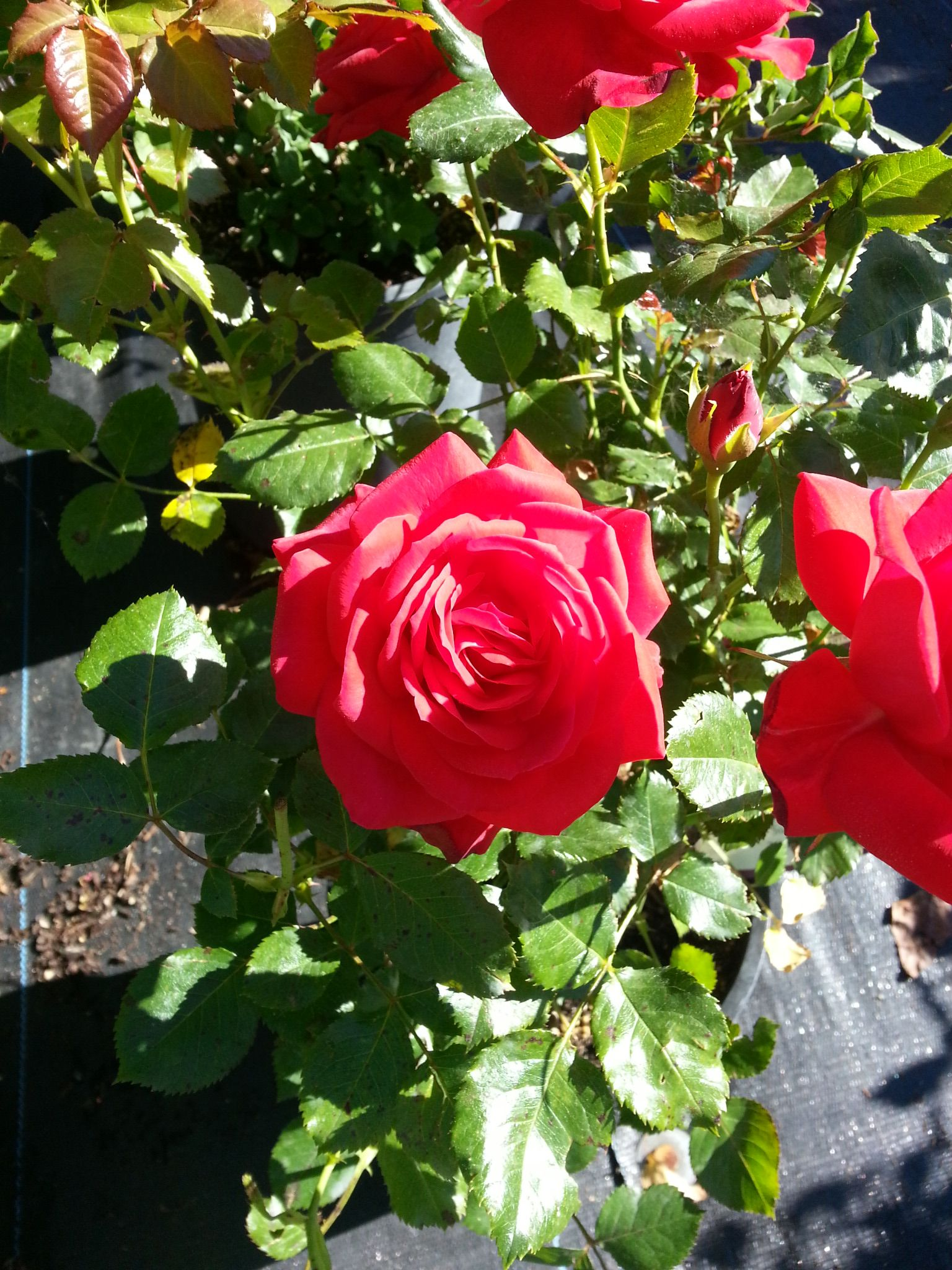 Simple Rose Garden: Super Hero Easy Elegance Rose