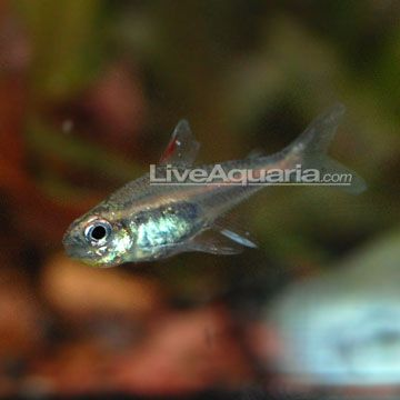 The Glowlight Tetra Is A Very Popular And Hardy Freshwater Tetra It Originally Came From The Clear Water Streams Of South Aquarium Set Glow Fish Aquarium Fish