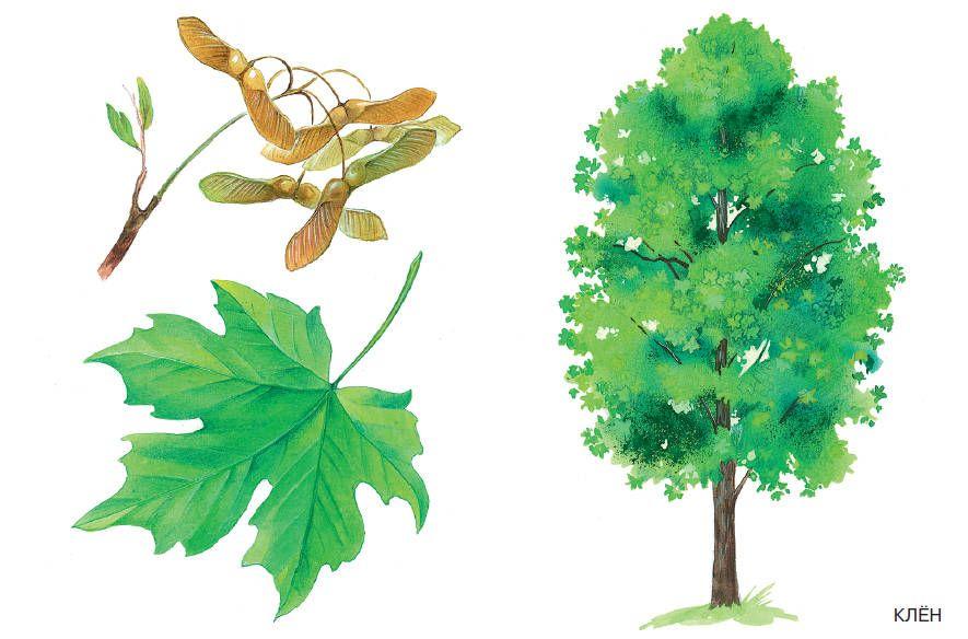 Шаблоны и картинки листьев разных деревьев - Подружки ...