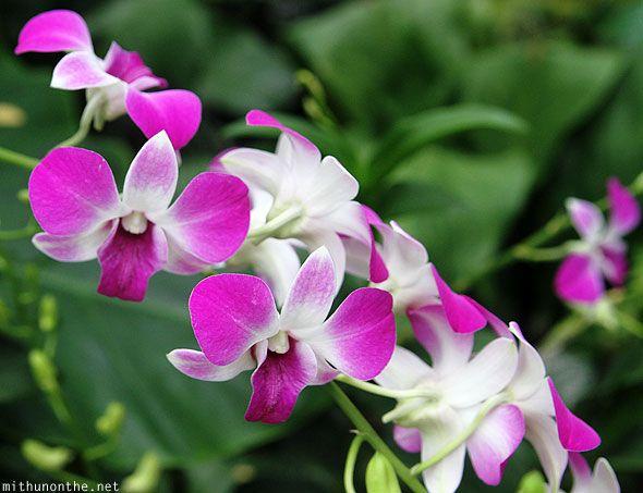 Http Mithunonthe Net Wp Content Uploads 2012 01 Orchid Flower Singapore Botanic Garden Jpg