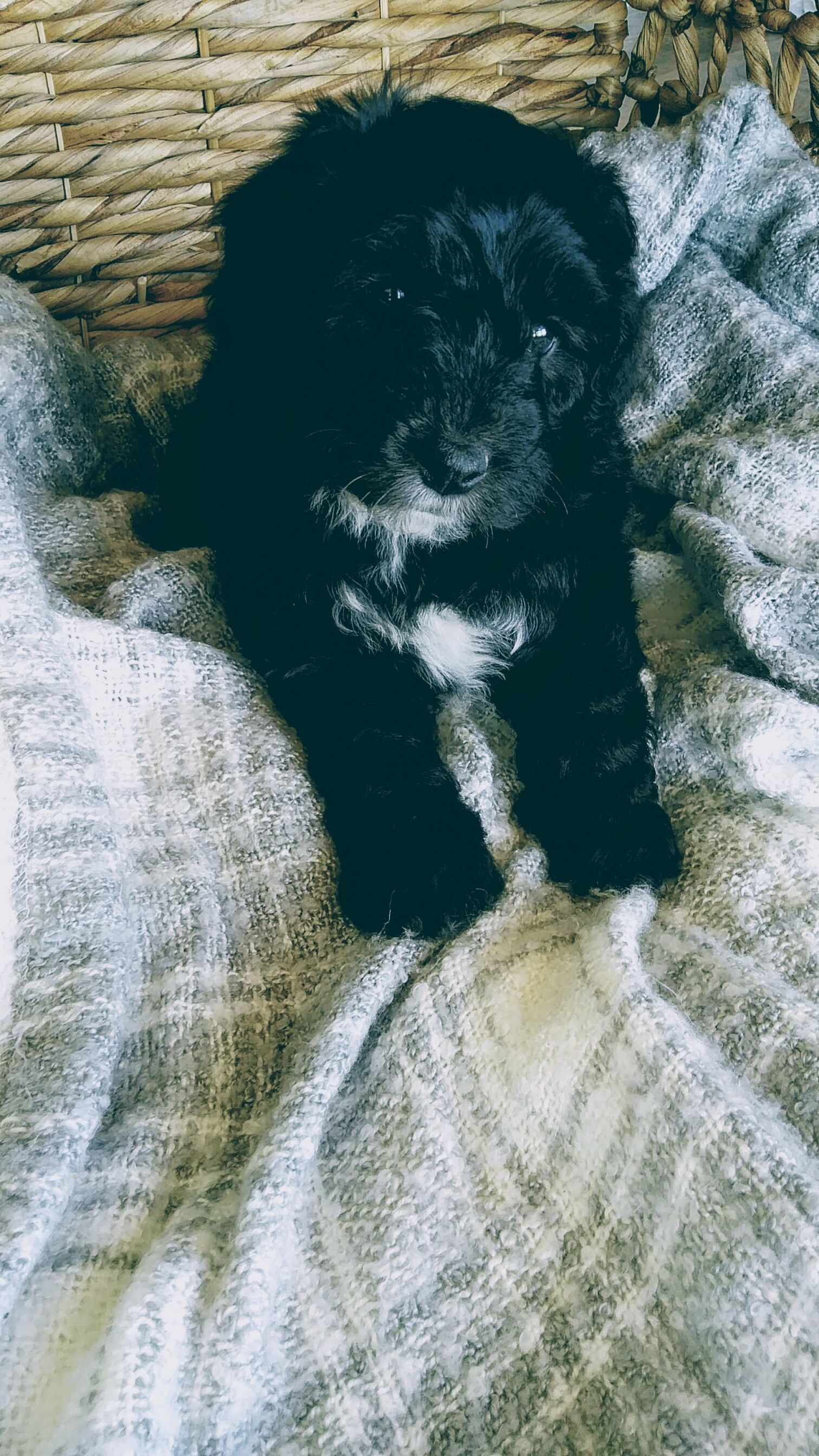Gucci A Mini Sheepadoodle Puppy For Sale In Sugarcreek Oh