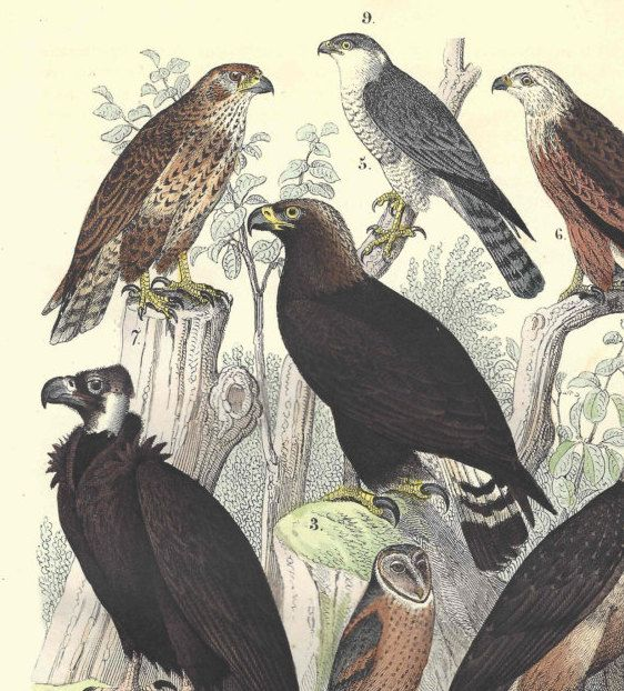1857 Antique Birds of Prey Print Hand Colored Engraving German Original Ornithology by catladycollectibles on Etsy