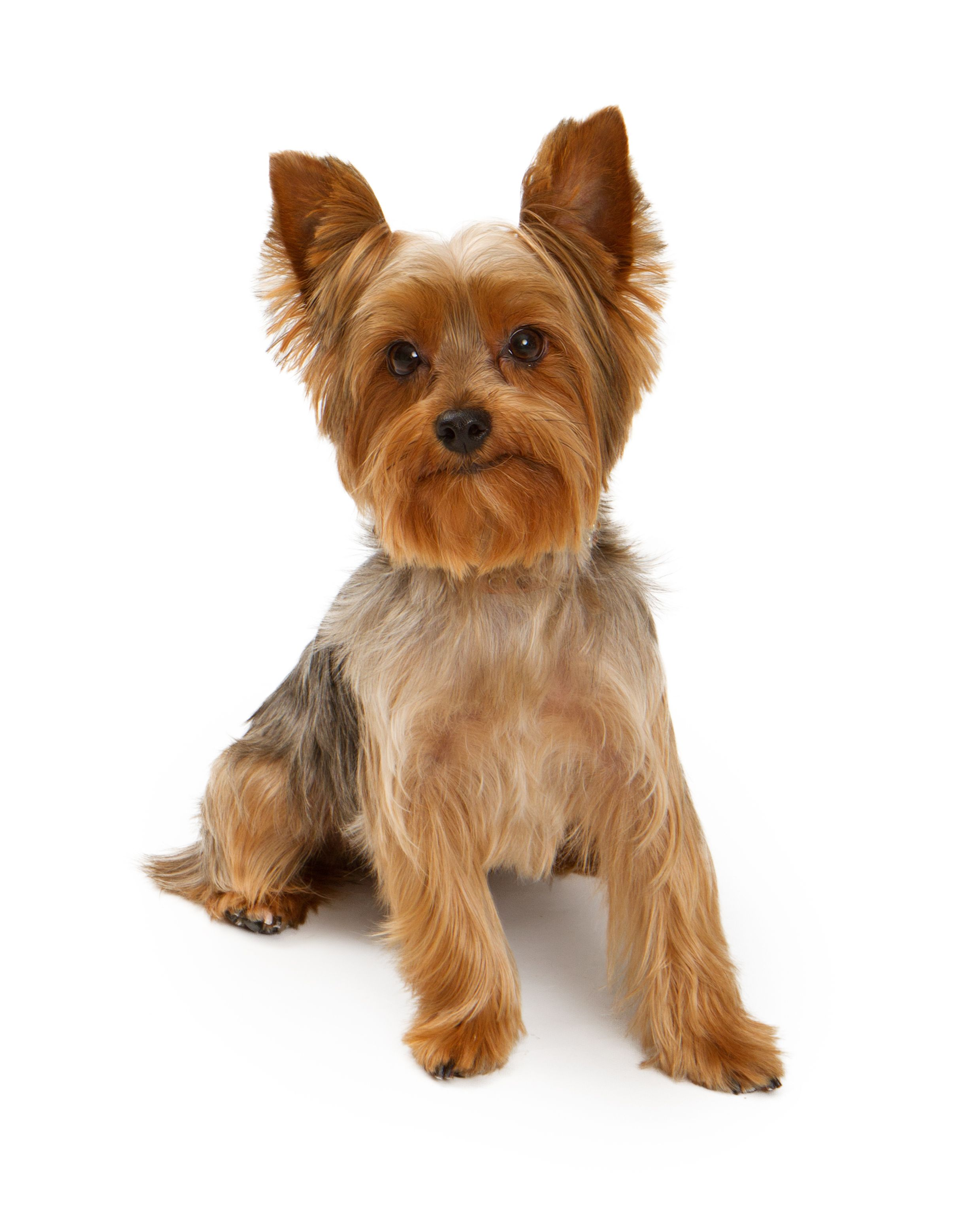yorkie poo grooming 10 surprising facts about yorkshire terriers pet health 4383