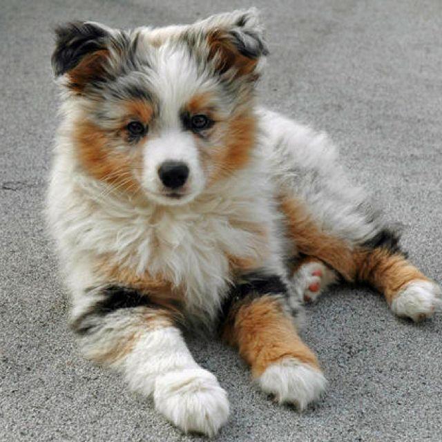 Australian Shepard Puppy 3 Gimme Cute Dogs Cute Puppies Miniature Australian Shepherd