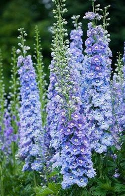 Another May Wedding favorite, Delphiniums come in many shades and heights, including these blue ones